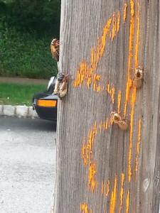 Cicadas in New Jersey